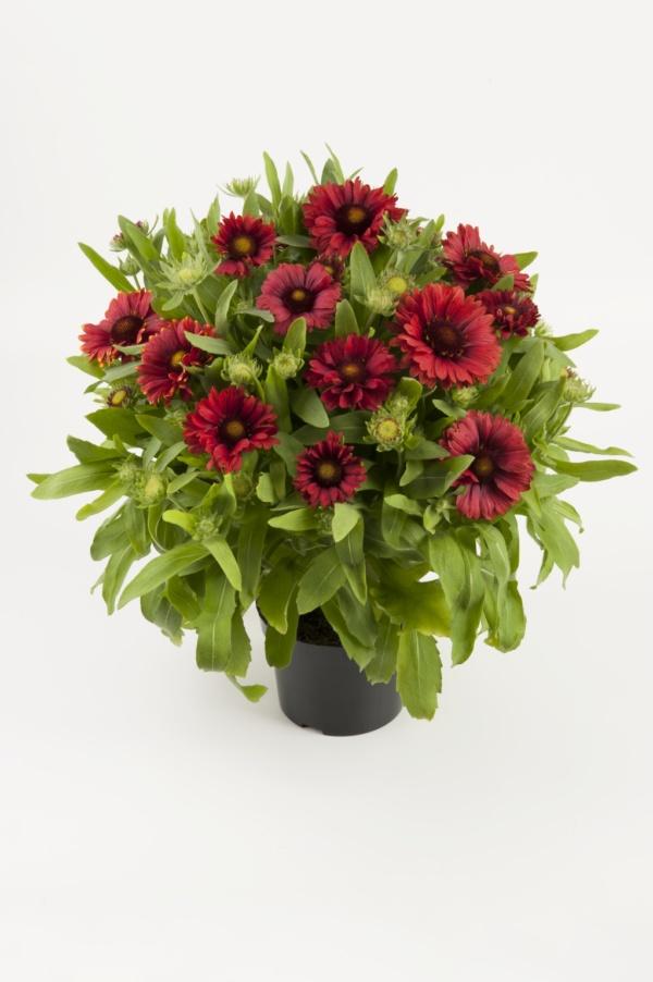 Gaillardia aristata Mesa Red