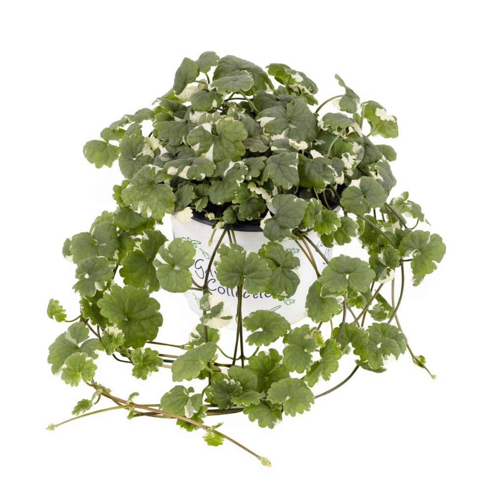 Glechoma variegata