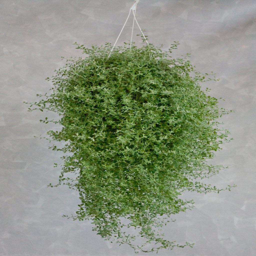 Helichrysum Silverstar