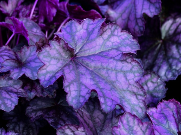 Heuchera x hybrida Blackberry Jam