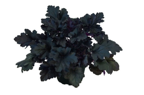 Heuchera x hybrida Black Pearl