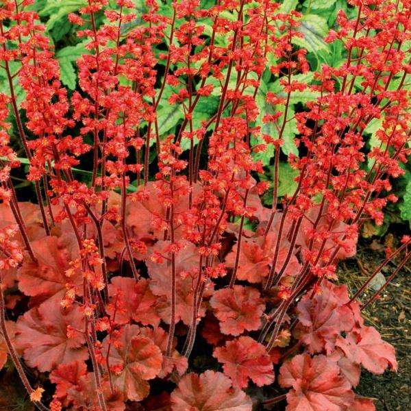 Heuchera x hybrida Cherry Cola
