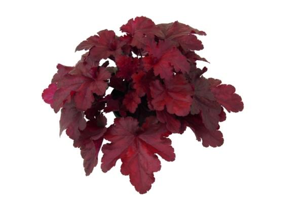 Heuchera x hybrida Forever Red