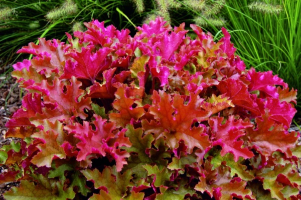 Heuchera x hybrida Marmalade