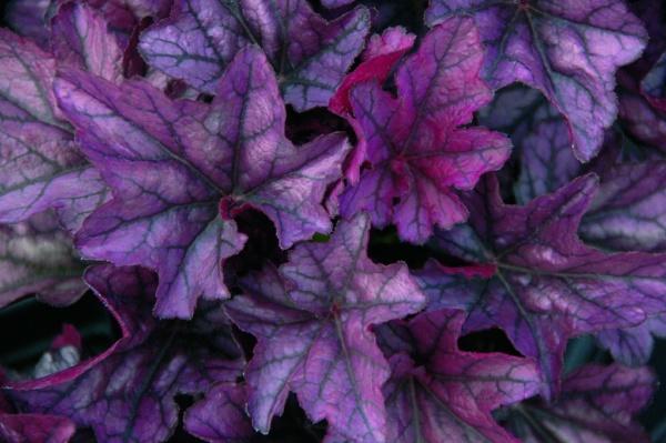 Heuchera x hybrida Season King