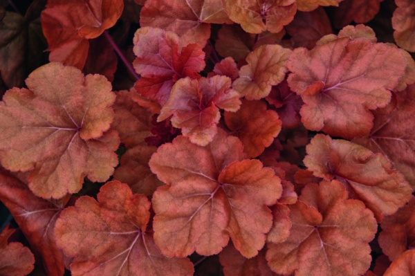 Heuchera x hybrida Timeless Orange