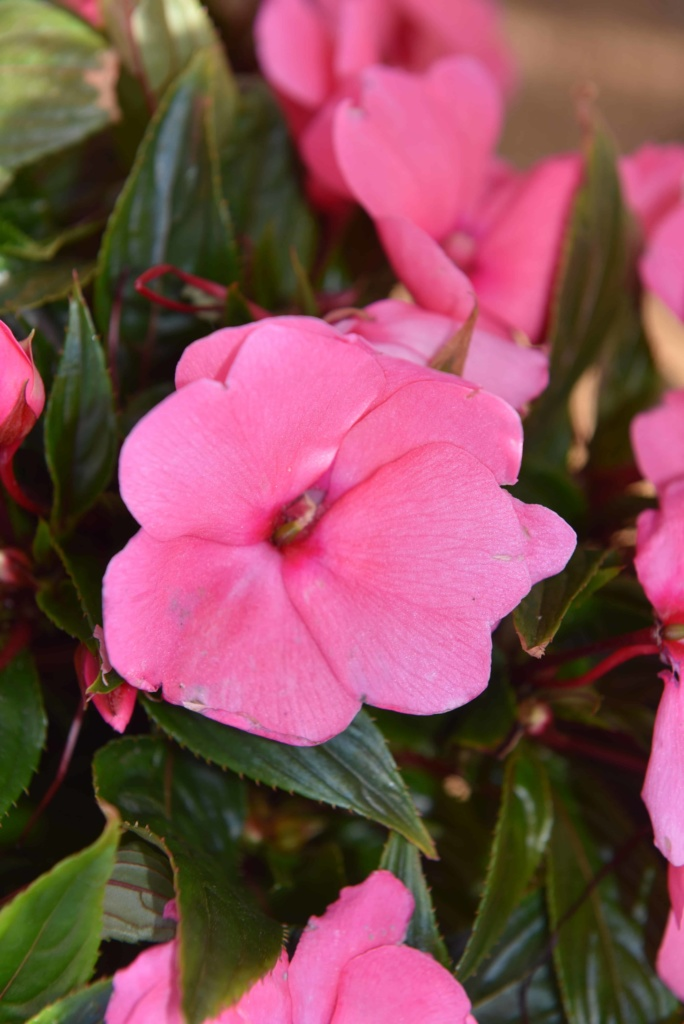 Impatiens New Guinea Magnum Clear Pink