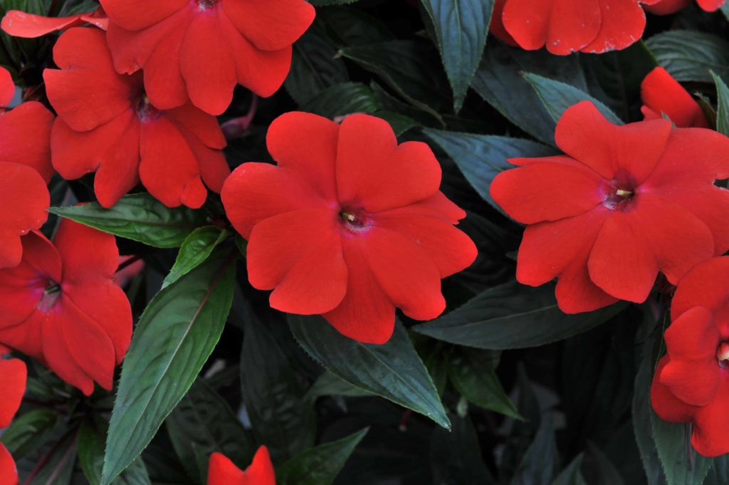 Impatiens New Guinea Magnum Dark Red