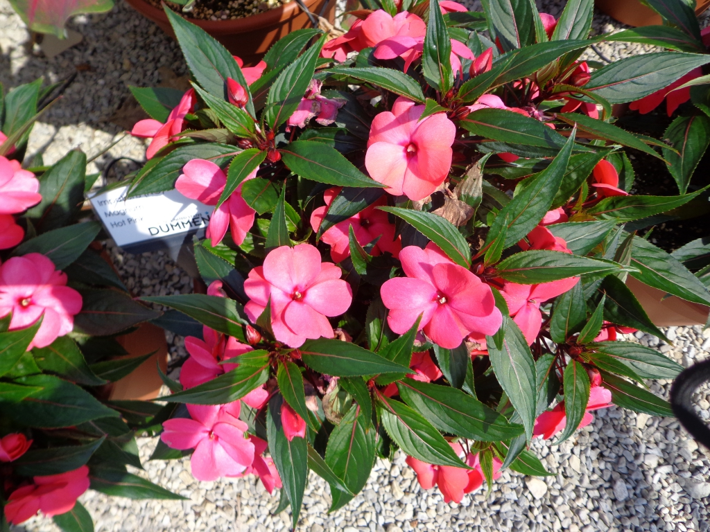 Impatiens New Guinea Magnum Hot Pink