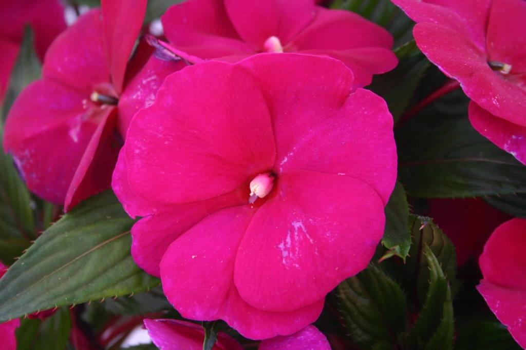 Impatiens New Guinea Magnum Purple