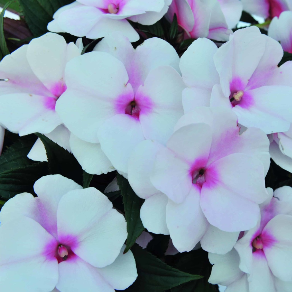 Impatiens New Guinea Magnum White Blush