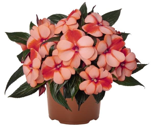 Impatiens New Guinea Petticoat Mandarin Star