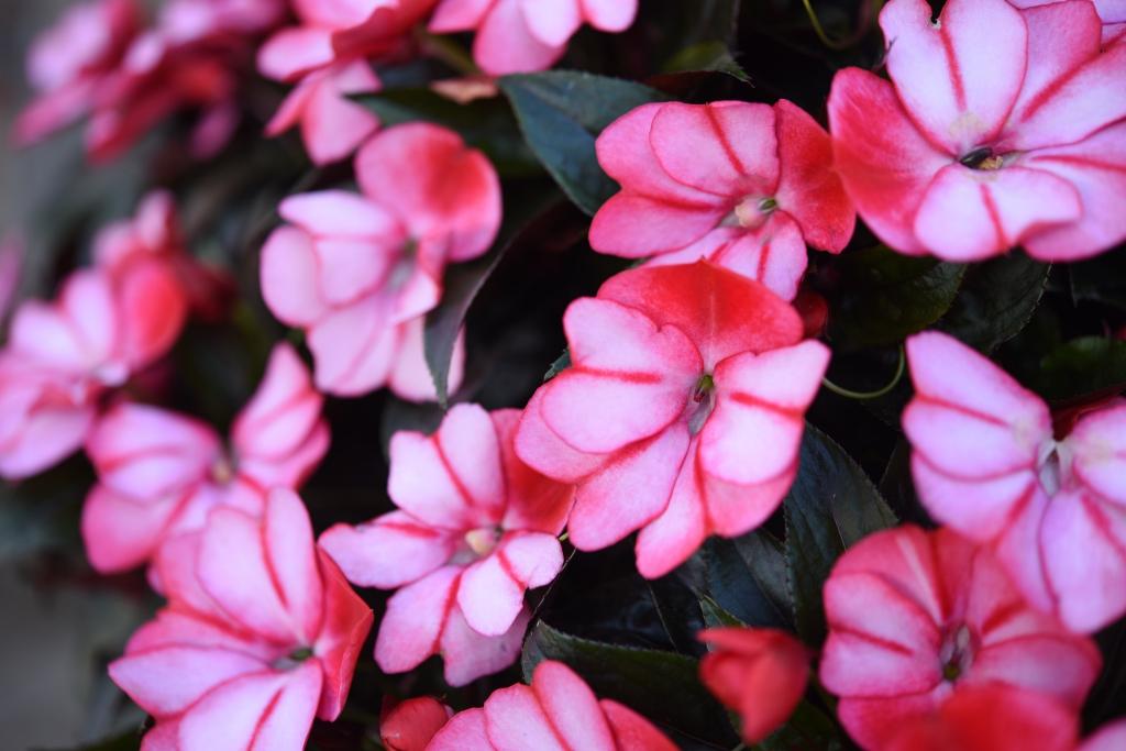 Impatiens New Guinea Petticoat Red Star