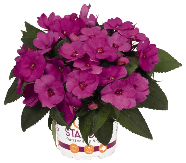 Impatiens New Guinea Sunstanding Lilac