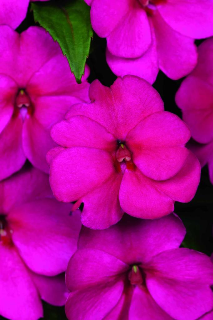 Impatiens New Guinea Sunstanding Purple