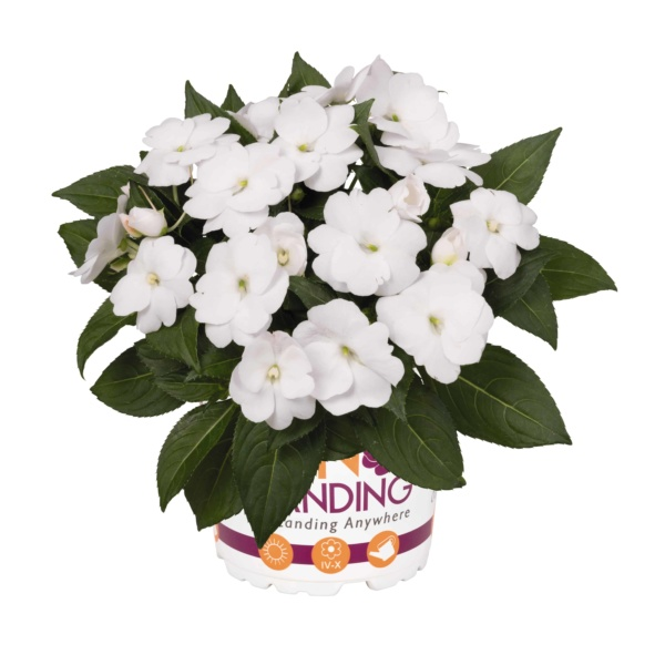 Impatiens New Guinea Sunstanding White