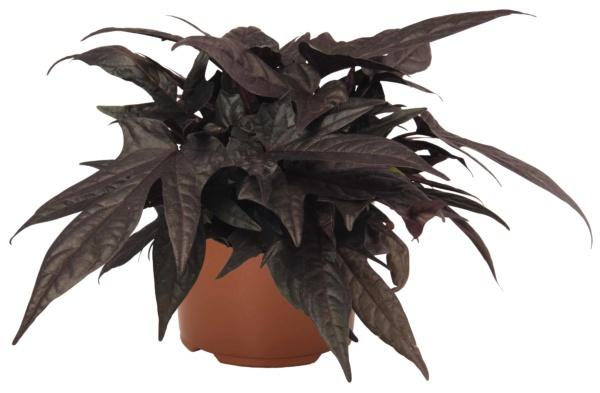 Ipomoea Floramia Black