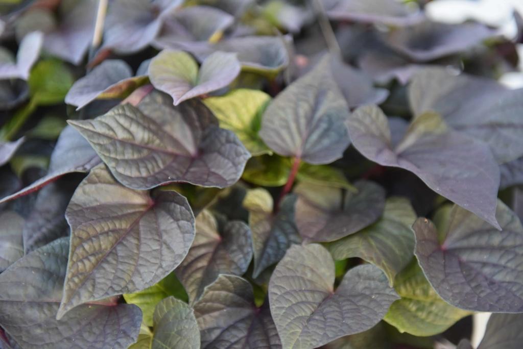Ipomoea Floramia Cameo