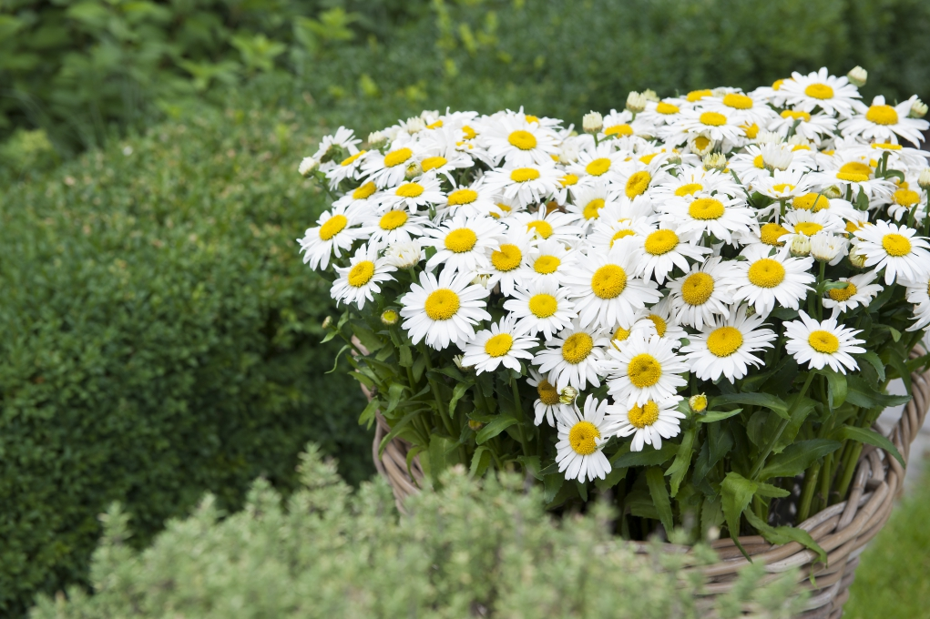 Leucanthemum maximum Ooh La Lagrande