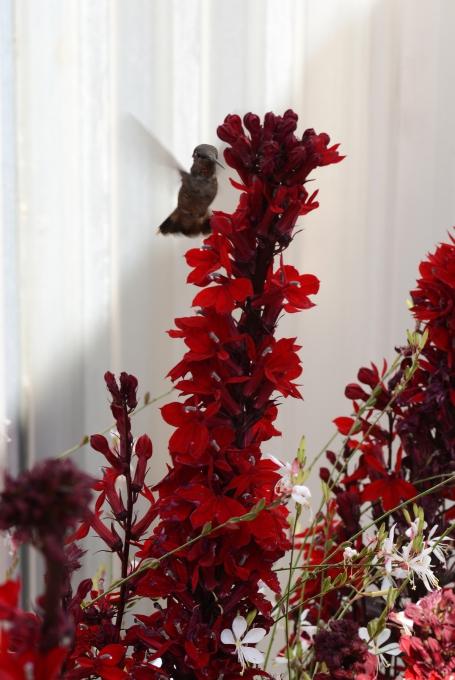 Lobelia speciosa Starship F1 Scarlet