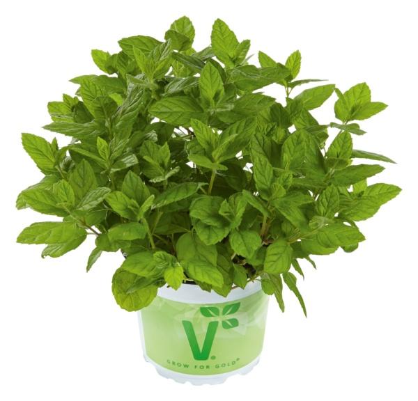 Mentha x piperita Garden Mint