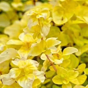 Origanum vulgare Gold Nugget