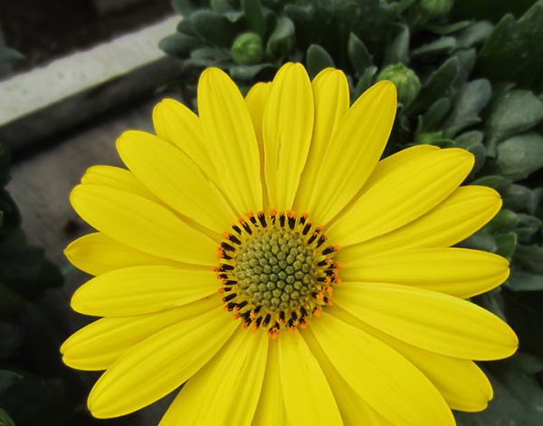Osteospermum FlowerPower® Yellow '19