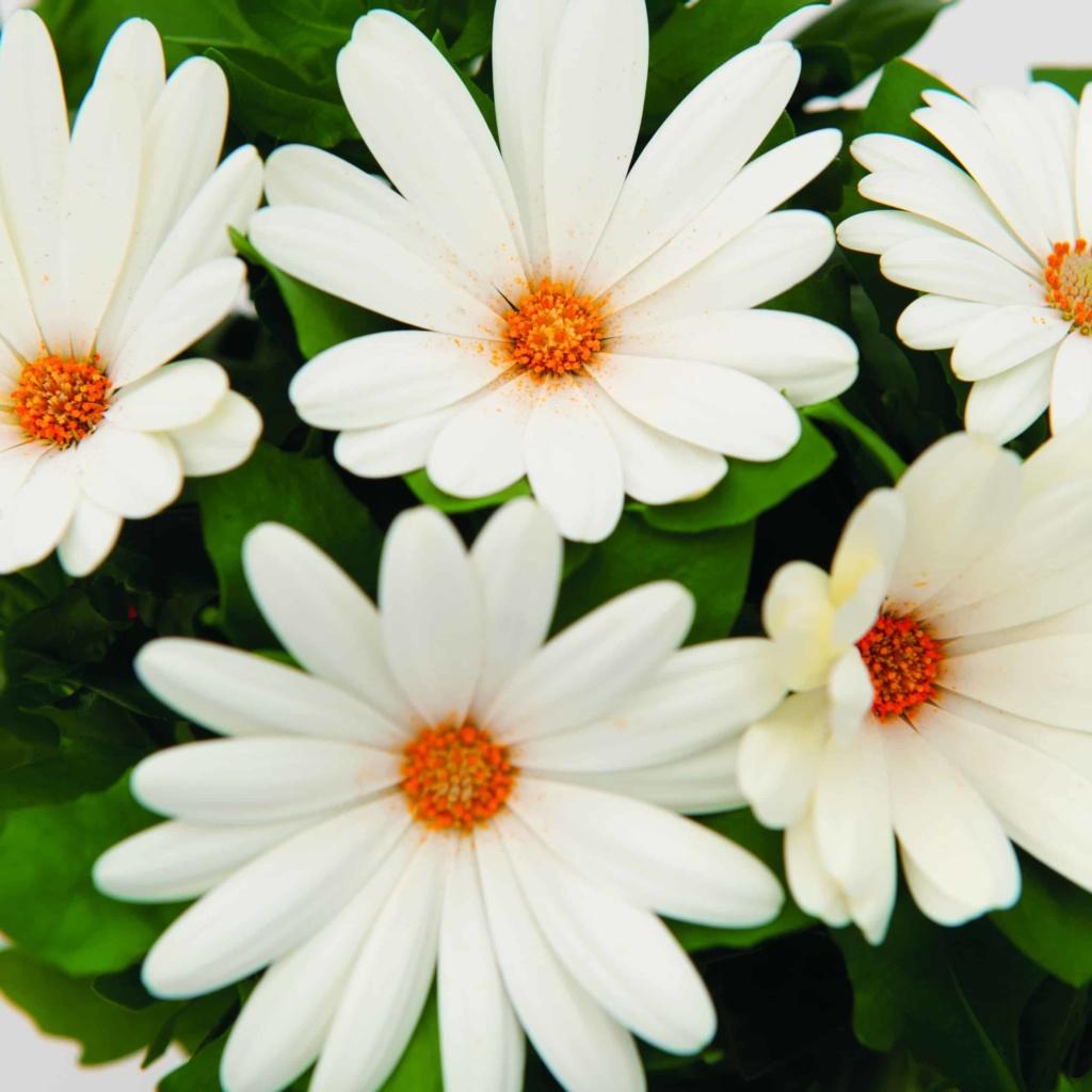 Osteospermum Margarita Creme