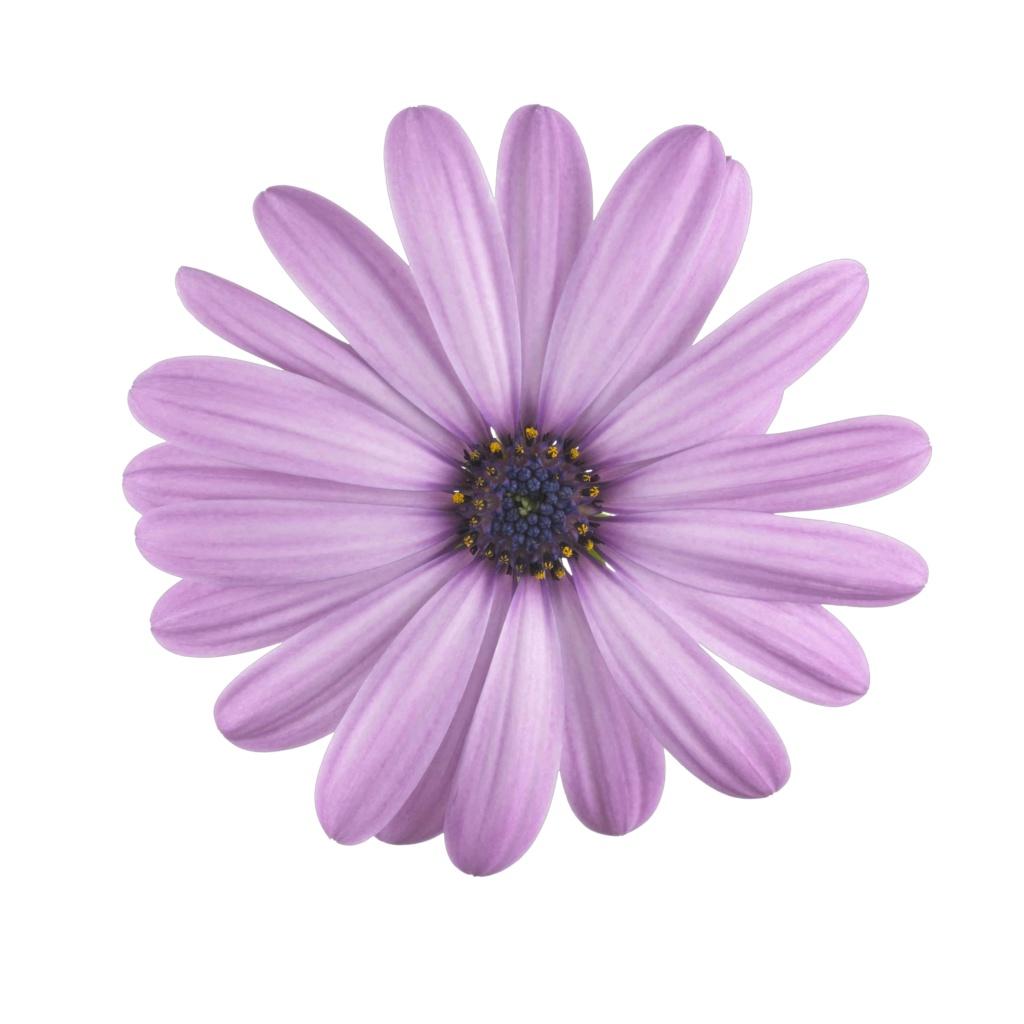 Osteospermum Margarita Lilac