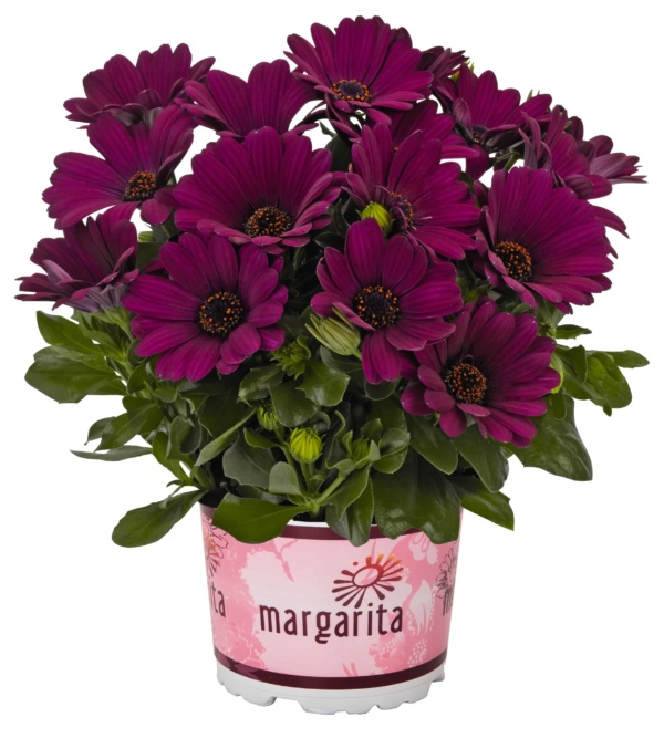 Osteospermum Margarita Purple