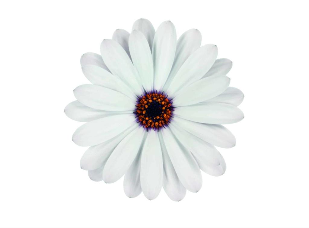 Osteospermum Margarita White