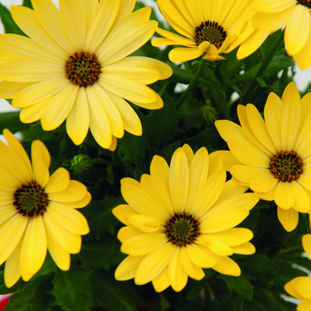 Osteospermum Margarita Yellow