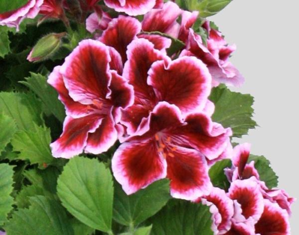 Pelargonium Grandiflorum IRTA Novita Classic® Early Lavender