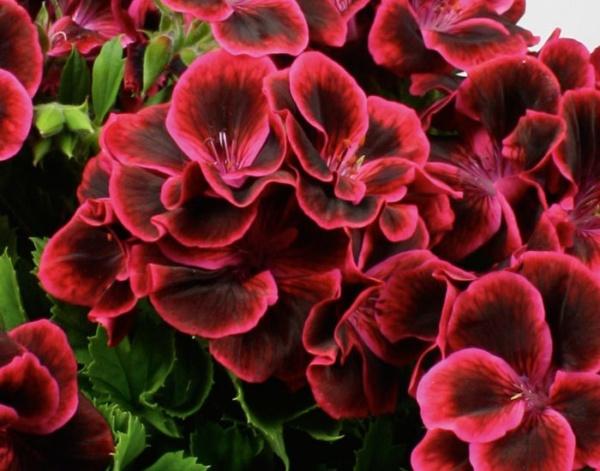Pelargonium Grandiflorum IRTA Novita Classic® Raspberry