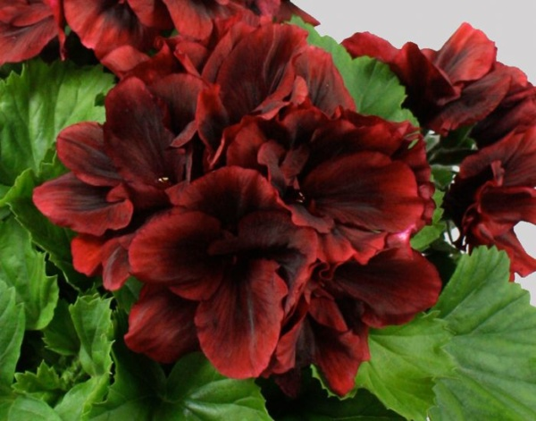 Pelargonium Grandiflorum IRTA Novita Classic® Red