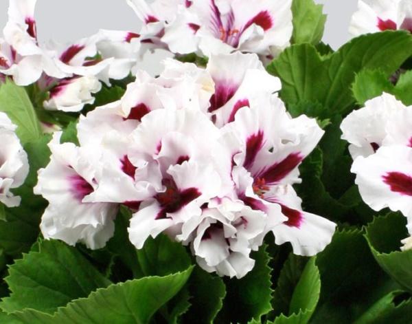 Pelargonium Grandiflorum IRTA Novita Classic® White Star