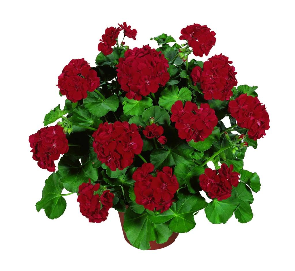 Pelargonium Peltatum Atlantic Dark Red