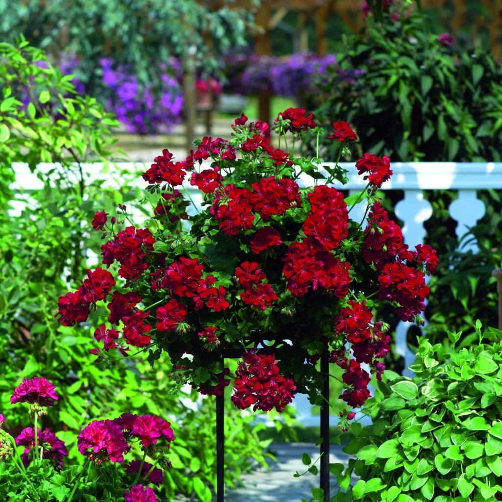 Pelargonium Peltatum Atlantic Red