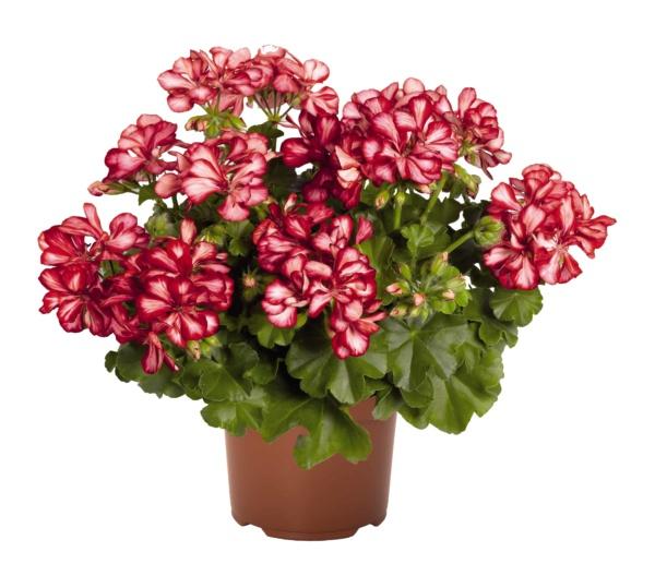 Pelargonium Peltatum Atlantic Red Star