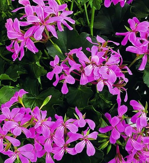 Pelargonium Peltatum Classic Single Ville de Paris Lilac
