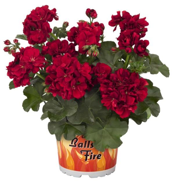 Pelargonium Peltatum Great Balls of Fire Dark Red