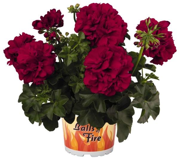 Pelargonium Peltatum Great Balls of Fire Velvet Red