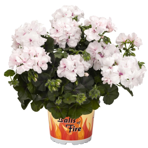 Pelargonium Peltatum Great Balls of Fire White
