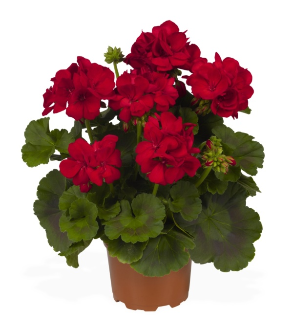 Pelargonium Zonale Big Eeze Red