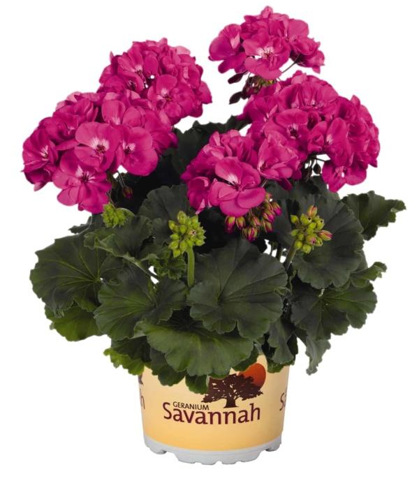 Pelargonium Zonale Savannah Blue