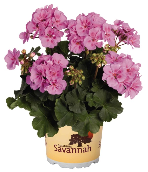 Pelargonium Zonale Savannah Lavender Splash
