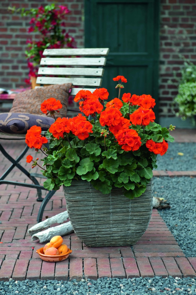 Pelargonium Zonale Savannah Oh So Orange