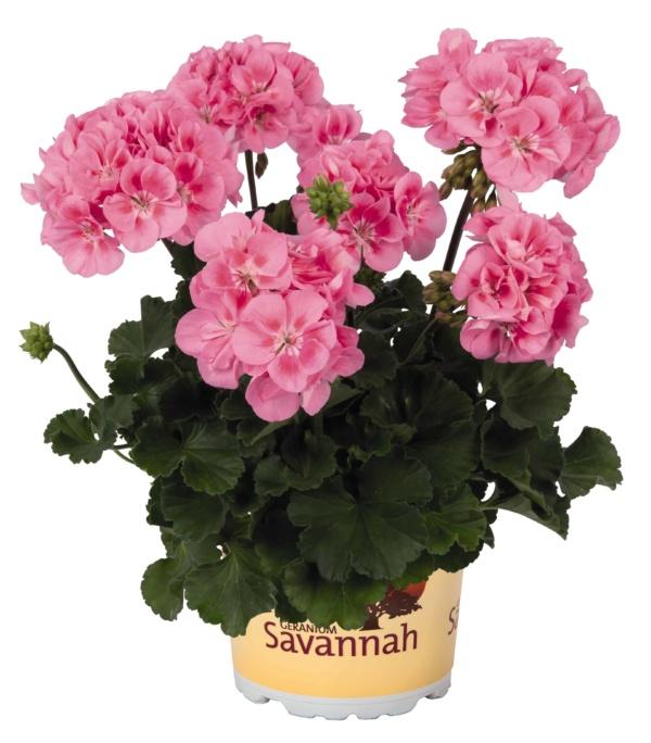 Pelargonium Zonale Savannah Pink 2019