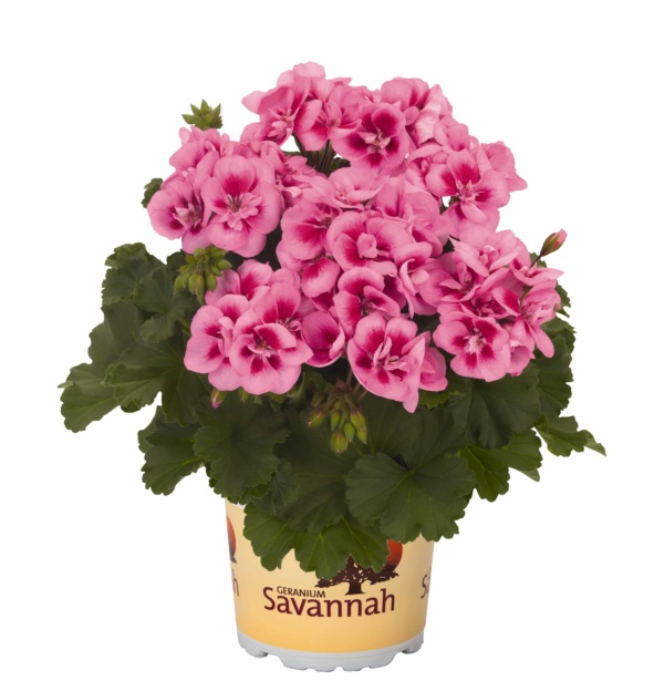 Pelargonium Zonale Savannah Pink Mega Splash
