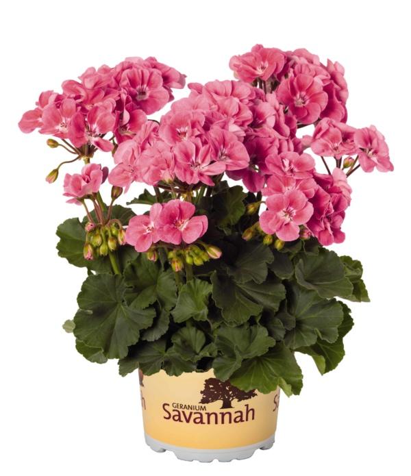 Pelargonium Zonale Savannah Pink Sizzle